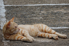 Kandy - Lazy Stray Cat (Drriss) Tags: travel cats asia srilanka ceylon tropics kandy straycats southasia sridaladamaligawa