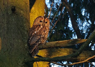 2nd May 2013 Tawny Owl