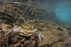 European freshwater crab - Potamon fluviatile (Giacomo Radi) Tags: crab tuscany crabs freshwatercrab freshwater maremma crostaceo granchiodifiume giacomoradi europeanfreshwatercrab