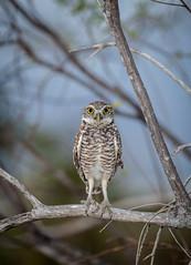 Burrowing owl native to Isla Cabritos. (Island Conservation) Tags: bird native dominicanrepublic caribbean vertebrate athenecunicularia burrowingowl cabritos
