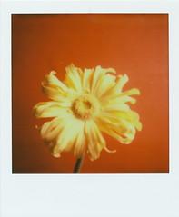 gerbera (Kumiko SEKIGUCHI) Tags: flower film polaroid sx70 gerbera instant px70 impossibleproject impossiblefilm