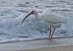 White Ibis (Birdwatcher 1406(Bill Eaton)) Tags: coth supershot avianexcellence sunrays5