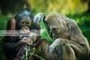 Different species. BABY ORANGUTAN AND GIBBON (Daniel Hernanz Ramos) Tags: animalspictures artisticanimalpictures amazinganimalpictures gibongibbonorangutan agressiveanimalpictures amazingurbanpictures animalscopyright danielhernanzfotografodemadrid animalsfacetoface orangutanbaby gibbon