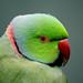 Indian Ringneck parrot  (Psittacula krameri),