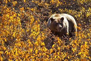 Brown Bear Bushwacking