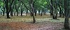 osmanthus forest (sirouni) Tags: flower zeiss forest hangzhou 167 osmanthus biogon 桂花 16x7 zm3528 nex5n