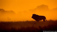 Lion of Busanga (Will Burrard-Lucas   Wildlife) Tags: