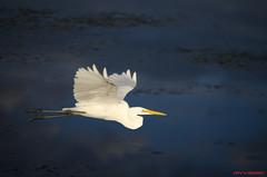 Great Egret (luisnieves1) Tags: wild nature florida wildlife flight whiteegret greategret wildlifephotography floridabirds flyingegret
