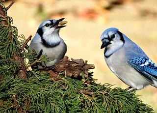 Pair of Blue Jays