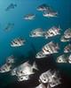 batfish2737 (gerb) Tags: school fish topv111 1025fav 510fav mexico ilovenature topv555 topv333 underwater scuba topv777 wreck fins seaofcortez tvp aquatica spadefish d7000 sigma1017fe