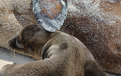 Mom (Travels with Kathleen) Tags: love beach fur mom mammal ecuador sand marine mother galapagos sealions sealion comfort flipper espanola islaespanola sealionpup