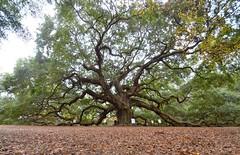 Angel Oak 1 (esywlkr) Tags: old tree nature oak southcarolina charleston liveoak angeloak