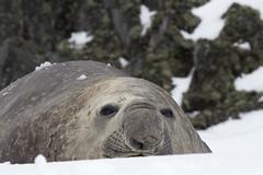 Antarctica - Day One0098 (GLRPhotography) Tags: elephant robert point antarctica seal 100400