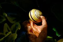 Snail (Den=) Tags: sunlight macro garden snail leafs fujix100s