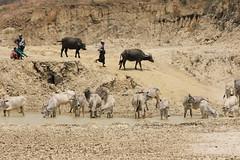 Watering hole (I.M.W.) Tags: man water canon river cow earthquake buffalo cattle drink burma myanmar dust dslr mandalay irrawaddy ayeyawady canon550d thabeikkyin sagaingfault