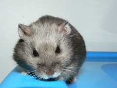 Pingu on Blue (Zoe is a fish.) Tags: pet animal dwarf hamster campbell campbells