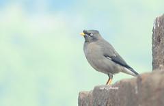 jungle myna by surajkhade (KHADESURAJ) Tags: india birds maharashtra suraj myna kolhapur khade