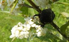 Protaetia (Netocia) morio - Cetoniidae (renato aldo ferri) Tags: natura animalia insetti coleoptera hexapoda polyphaga scarabaeoidea cetoniidae protaetianetociamorio parcogrugnotortovilloresicinisellobalsamo renatoaldoferri