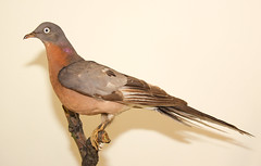 Passenger Pigeon (Laura Erickson) Tags: passengerpigeon museumspecimens ectopistesmigratorius