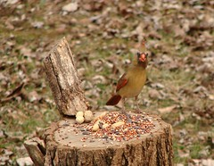 Standing Tall (mcnod) Tags: cardinal january peanut ferndale 2014 mcnod stumpfeeder