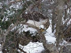 Cooper's Hawk in Snow (rgjones23) Tags: snow bird female wind juvenile cherrytree coopershawk janus accipiter