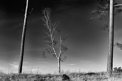 White Lightning (Edwin van Nuil Photography) Tags: winter tree zeiss blackwhite bomen sony heath za niksilverefexpro2 vision:outdoor=0931 vision:clouds=0815 sonyalphaa7 sonnartfe1855 zeisssonnartfe55mmf18za