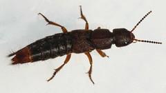 Platydracus cinnamopterus (woolcarderbee) Tags: wisconsin beetle panasonic coleoptera staphylinidae danecounty rovebeetle platydracus dmcl10 platydracuscinnamopterus taxonomy:binomial=platydracuscinnamopterus