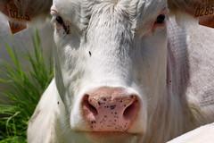 A cow story ! (DirkVandeVelde (very busy)) Tags: cow europa europe belgium belgique belgie sony antwerp belgica dieren antwerpen mechelen mammalia anvers vache koe malines europ malinas zoogdieren vision:outdoor=0616 vision:sky=0509