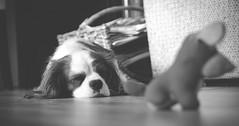 Stella sleeping (kmravn) Tags: sleeping dog white black king charles spaniel cavalier