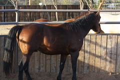 Boon Bar Lucre  (8) (tanyerhide) Tags: barn bay luke stud stallion boon wwwcowboy4salecom wwwtomtracom