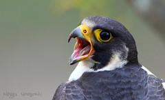 Peregrine Falcon (Nigel Hodson) Tags: nature birds canon bristol wildlife 7d falcon avon peregrine avongorge 500mmf4 ukbirds wildperegrine