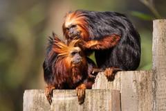 2014-04-12-10h05m31.272P5959 (A.J. Haverkamp) Tags: zoo thenetherlands apenheul apeldoorn dierentuin goudkopleeuwaapje goldenheadedliontamarin httpwwwapenheulnl canonef500mmf4lisiiusmlens