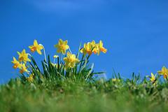 Spring Meadow (pallab seth) Tags: macro dof spring flower barking park england london signofspring bokeh nature daffodil garden springgarden barkingpark yellow blue 2017 samsung60mmf28macroedoisssalens samsungnx1