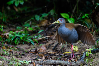 Slaty-breasted Wood-Rail