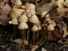 Hey, don't you know it is Spring!!!! (joeke pieters) Tags: 1330594 panasonicdmcfz150 paddenstoel mushroom toadstool fungus fungi tuin garden lente spring