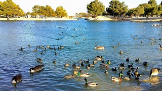 The Ducks and Geese of Apollo Park