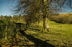 Naturally Narrowing (Brian Still Travelling) Tags: trees bushes grass bluesky sheep branches pentaxkr pentax photoshop photography landscape scotland scenery ayrshirenorth northayrshire middleton farm