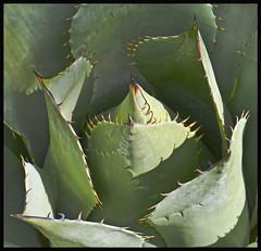 Agave 2016 #6 (hamsiksa) Tags: plants flora vegetation botany agavaceae agave agaves rosette spines succulents xerophytes desert desertplants sonorandesert