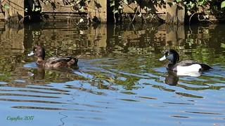 Kuifeenden - Tufted ducks( female and male)