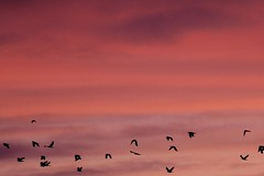 Bird Droppings (!) (jillyspoon) Tags: birds sunrise crows flying canon canon70d canon70200 l series red pink sky skies morning scotland wigtownshire flock flyingbirds