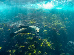 Passerby (Snirk) Tags: seal underwater gopro montague island seals narooma snorkelling animal