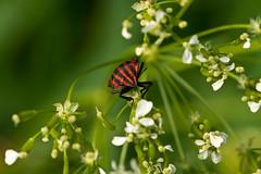 face to face (.hansn#) Tags: käfer beatle face oberösterreich fühling spring flover macro