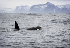 Killer at Large (RD241258) Tags: orca killerwhale norway arctic lofoten mammal sea fjord wildlife mountain mountains snow waves water whale dolphin fin fiskenes nordland