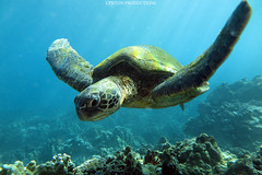IMG_0188 (Aaron Lynton) Tags: lyntonproductions honu turtle turtles maui hawaii underwater canon g1x