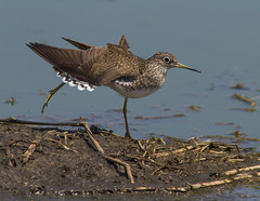Solitary Sandpiper (AllHarts) Tags: solitarysandpiper southplant ensleybottoms memphistn naturescarousel