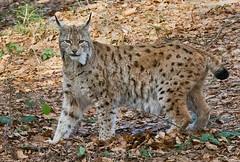 Lynx lynx - Euraziatische lynx ...10-04-2017 In Explore (wimberlijn) Tags: lynxlynx euraziatischelynx lynx beiersewoud bayerischerwald nationalparkzentrumlusen luchs bavarianforest nature wildlife animal outdoor