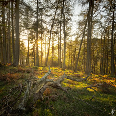Light Through The Trees  [Explored April 9th 2017] (fearghal breathnach) Tags: loughdan woods goldenhour lightthroughthetrees trees sunset shootintothelight lightandshadows squareformat square landscape
