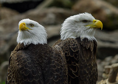 Eagle Buddies (dqpagan) Tags: rage beak claws claw symbols symbol americana america american wings wing feathers philadelphia philly montgomerycounty d3200 nikon birds bird eagles eagle norristown elmwoodzoo