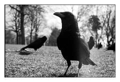 (bakmak71) Tags: minoltaxd7 swfilm analog agfaapx100 scanvomnegativ adonal myblackfriends facetoface raben rabenkrähen saatkrähen crow raven 50erobjektiv