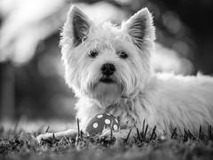 Taking a rest (Vintage lens lover (slowly catching up)) Tags: terrier pippa westie westhighlandwhiteterrier olympus zuiko 75mm omd em1 m43